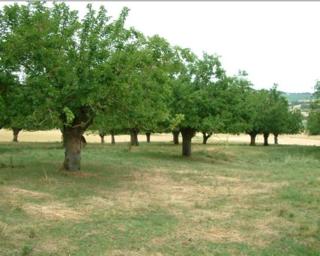 Morus alba.white mulberry trees in England