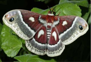 Glover's silk moth