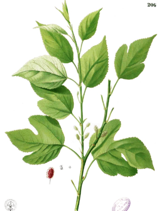 Mulberry.morus alba.Francisco Manuel Blaco.1883.