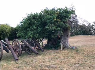 Saint-Fargeau.old  old tree.26AUG2018