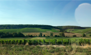 Chablis country.vines  vines  everywhere.2Sept2018