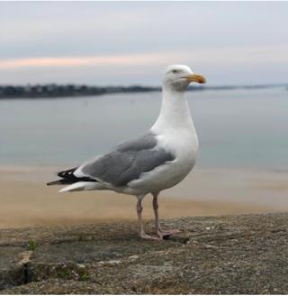 St Malo.seagulls everywhere.google
