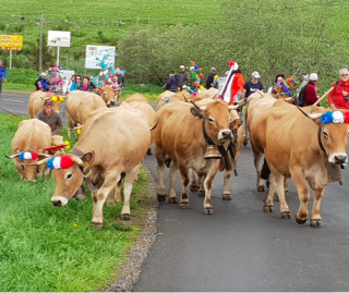 Aubrac cows during the transhumance in May.tourist bureau