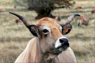 L'Aubrac.the Aubrac cow.tourist bureau